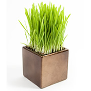 pot of grass